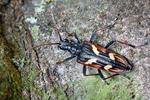 Kousavec dvoupáskovaný (Rhagium bifasciatum)