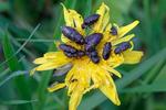 Krasec čtyřtečný (Anthaxia quadripunctata)