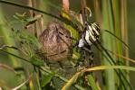 Križiak pruhovaný (Argiope bruennichi)