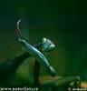 Kudlanka nábožná (Mantis religiosa)