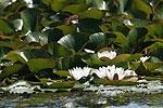 Leknín bílý (Nymphaea alba)