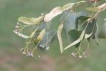 Lípa malolistá (srdčitá) (Tilia cordata)