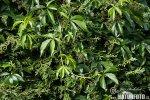 Loubinec popínavý (Parthenocissus inserta)