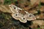 Martináček habrový (Eudia pavonia)