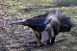 Mravenečník velký (Myrmecophaga tridactyla)
