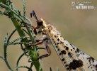 Mravkolev (Palpares libelluloides)