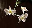 Orchidej (Orchidea sp.)