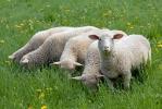 Ovce domácí (Ovis aries)