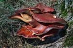 Pečeňovec dubový (Fistulina hepatica)