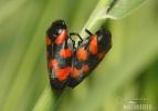 Pěnodějka nížinná (Cercopis sanguinolenta)