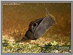 Plovatka bahenní (Lymnaea stagnalis)