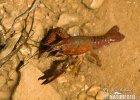 Rak červený (Procambarus clarkii)