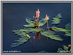 Rdesno obojživelné (Persicaria amphibia)