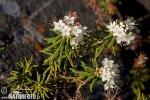 Rojovník bahenní (Ledum palustre)