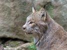 Rys kanadský (Lynx canadensis)