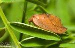 Rzounek vykrajovaný (Drepanepteryx phalaenoides)