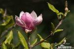Šácholan Soulangeův (Magnolia x soulangeana)