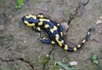 Salamandra škvrnitá (Salamandra salamandra)