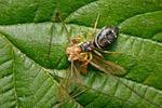 Skákavka žlutonohá (Heliophanus flavipes)