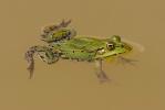 Skokan zelený (Rana esculenta)