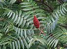 Škumpa orobincová (Rhus typhina)