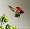 Slunéčko sedmitečné (Coccinella septempunctata)