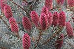 Smrk pichlavý - stříbrný (Picea pungens - glauca)