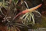 Tilandsie (Tillandsia sp.)