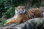 Tygr sumaterský (Panthera tigris sumatrae)