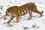 Tygr ussurijský (Panthera tigris altaica)