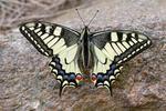 Vidlochvost feniklový (Papilio machaon)