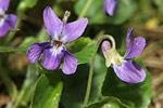 Violka vonná - fialka (Viola odorata)
