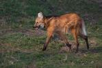 Vlk hřivnatý, pes hřivnatý (Chrysocyon brachyurus)