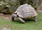 Želva pardálí (Geochelone pardalis)