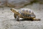 Želva stepní (Testudo horsfieldii)