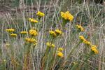 Zlatovlások obyčajný (Aster linosyris)