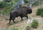 Zubr evropský (Bison bonasus)