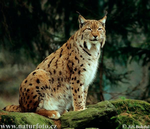 Rys ostrovid (Lince boreal - Lynx lynx)