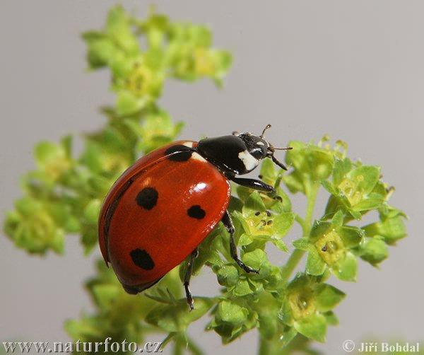 http://www.naturfoto.cz/fotografie/ostatni/slunecko-sedmitecne-24537.jpg