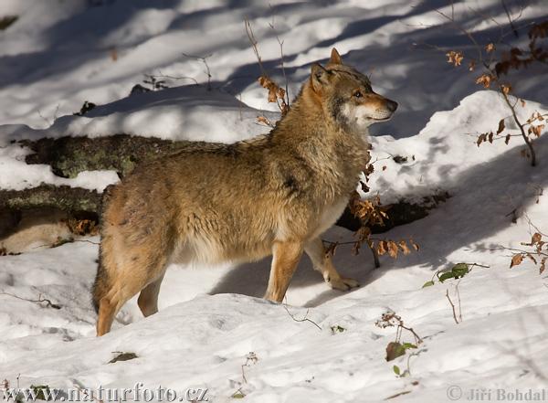Vlk obecný (Canis lupus)
