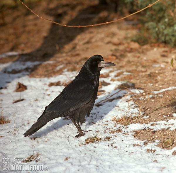 Havran-polní (Corvus frugilegus)