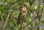 Cvrčilka říční (Locustella fluviatilis)