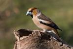 Pěvci (Passeriformes)