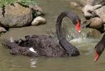 Labuť černá (Cygnus atratus)