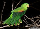 Papoušek červenokřídlý (Aprosmictus erythropterus)