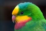 Papoušek nádherný (Polytelis swainsonii)