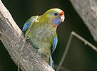 Rozela slámožlutá (Platycercus flaveolus adelaidae)