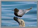 Rybák černý (Chlidonias niger)