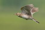 Skřivan polní (Alauda arvensis)