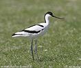 Tenkozobec opačný (Recurvirostra avosetta)